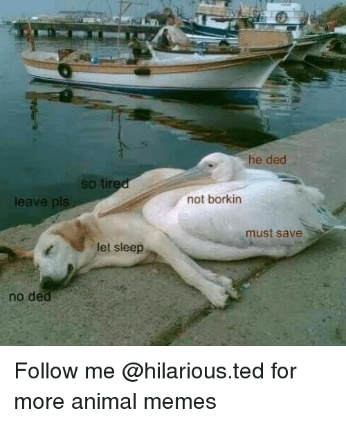 Funny, Memes, and Ted: he ded  so tire  leave pls  not borkin  must save  let sleep  no ded Follow me @hilarious.ted for more animal memes