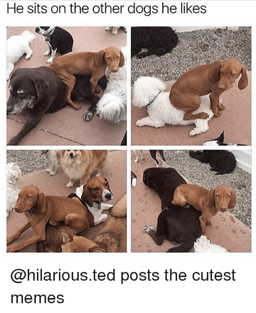 Dogs, Memes, and Ted: He sits on the other dogs he likes @hilarious.ted posts the cutest memes
