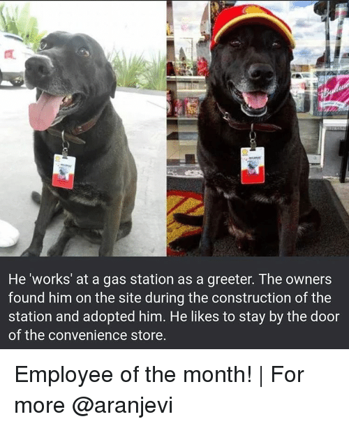 Memes, Gas Station, and Construction: He 'works' at a gas station as a greeter. The owners  found him on the site during the construction ofthe  station and adopted him. He likes to stay by the door  of the convenience store. Employee of the month! | For more @aranjevi