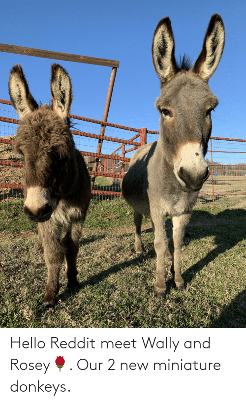 Hello, Reddit, and New: Hello Reddit meet Wally and Rosey🌹. Our 2 new miniature donkeys.