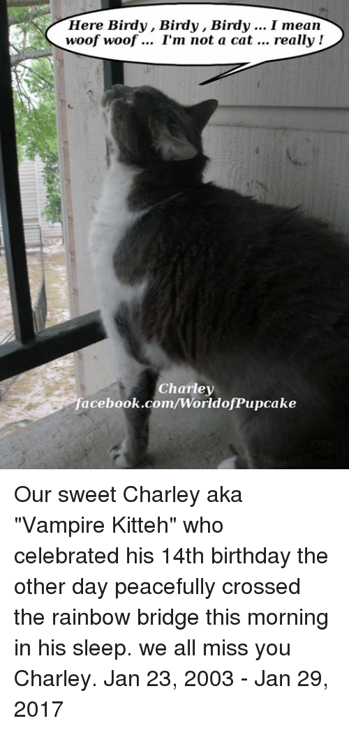 """Memes, Vampires, and Birdy: Here Birdy, Birdy, Birdy  I mean  woof woof I'm not a cat  really  Charley  acebook.com/WorldoffPupcake Our sweet Charley aka """"Vampire Kitteh"""" who celebrated his 14th birthday the other day peacefully crossed the rainbow bridge this morning in his sleep. we all miss you Charley.  Jan 23, 2003 - Jan 29, 2017"""