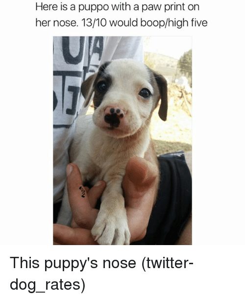 Funny, Twitter, and Boop: Here is a puppo with a paw print on  her nose. 13/10 would boop/high five This puppy's nose (twitter-dog_rates)