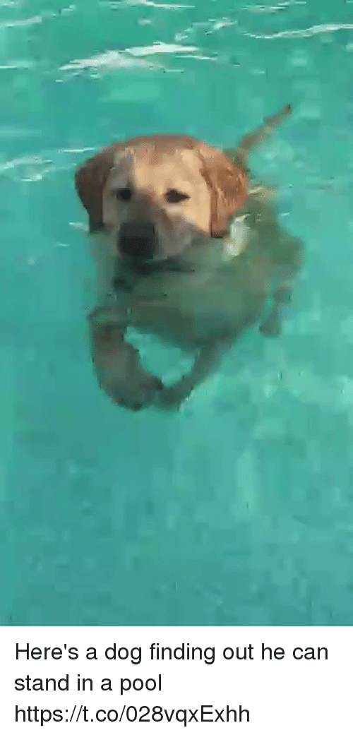Pool, Relatable, and Dog: Here's a dog finding out he can stand in a pool https://t.co/028vqxExhh