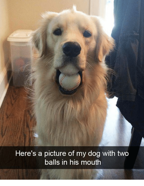 Memes, A Picture, and 🤖: Here's a picture of my dog with two  balls in his mouth