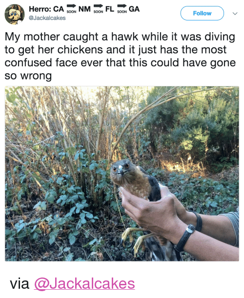 """Confused, Target, and Twitter: Herro: CA 9 NMFL GA  Follow  @Jackalcakes  My mother caught a hawk while it was diving  to get her chickens and it just has the most  confused face ever that this could have gone  so wrong <p>via <a href=""""https://twitter.com/Jackalcakes/status/975530919434993664"""" target=""""_blank"""">@Jackalcakes</a></p>"""
