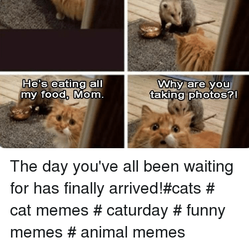 Cats, Caturday, and Food: He's eating all  my food, Mom  Why are you  takina photos? The day you've all been waiting for has finally arrived!#cats # cat memes # caturday # funny memes # animal memes