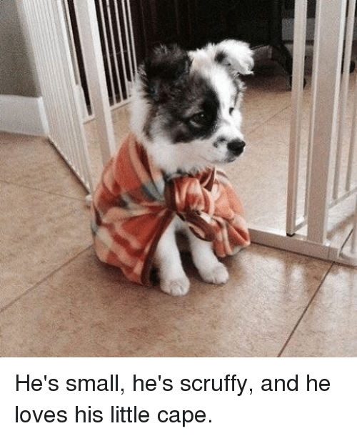 Memes, 🤖, and Cape: He's small, he's scruffy, and he loves his little cape.