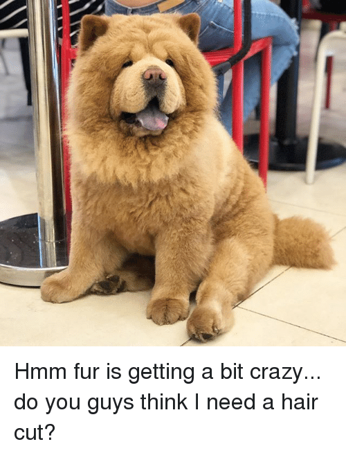 Crazy, Memes, and Hair: Hmm fur is getting a bit crazy... do you guys think I need a hair cut?