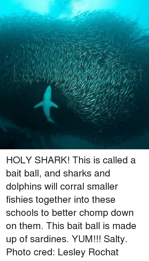 Memes, Being Salty, and Shark: HOLY SHARK! This is called a bait ball, and sharks and dolphins will corral smaller fishies together into these schools to better chomp down on them. This bait ball is made up of sardines. YUM!!! Salty. Photo cred: Lesley Rochat