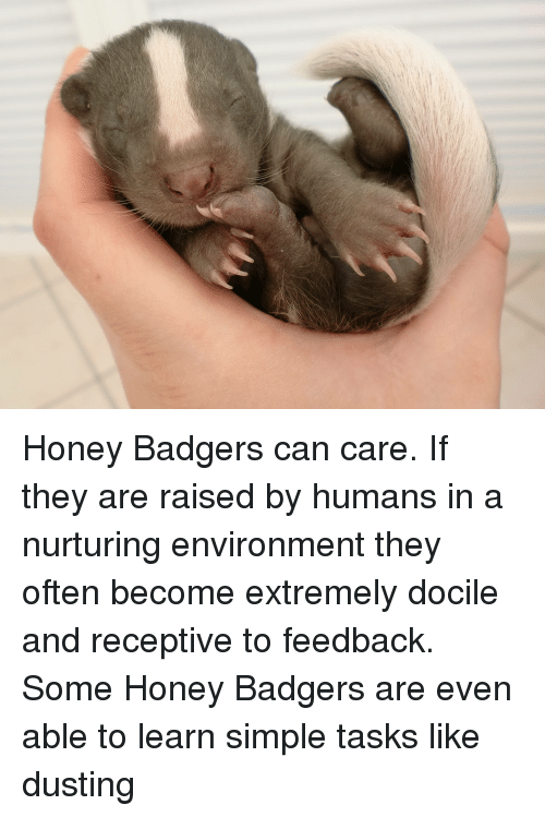 Honey Badger, Shitty Animalfacts, and Baby: Honey Badgers can care. If they are raised by humans in a nurturing environment they often become extremely docile and receptive to feedback. Some Honey Badgers are even able to learn simple tasks like dusting