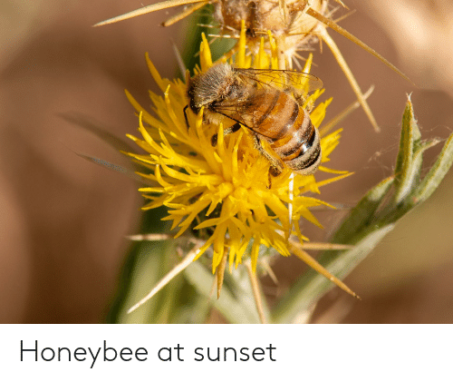 Sunset, Honeybee, and At: Honeybee at sunset