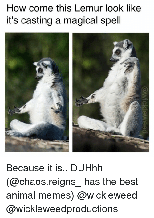 how come this lemur look like its casting a magical 25878980 how come this lemur look like it's casting a magical spell because