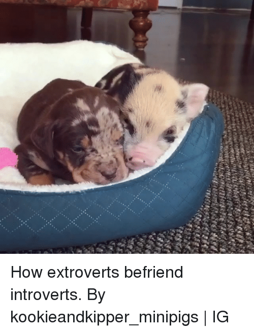 Dank, 🤖, and How: How extroverts befriend introverts.  By kookieandkipper_minipigs | IG