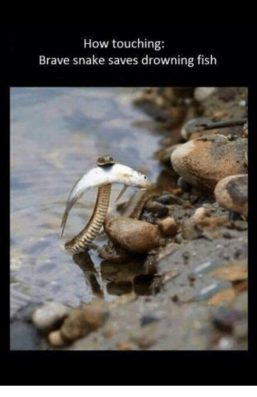 Brave, Fish, and Snake: How touching:  Brave snake saves drowning fish