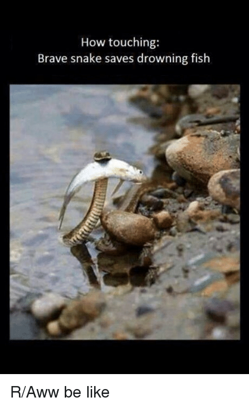 Aww, Be Like, and Funny: How touching:  Brave snake saves drowning fish R/Aww be like