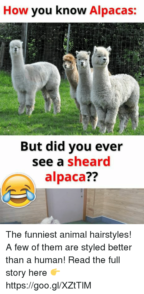 Best Memes About Funniest Animes Funniest Animes Memes - 22 hilarious alpaca hairstyles