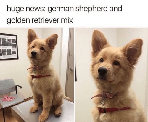 Huge News German Shepherd And Golden Retriever Mix Funny Meme On Meme