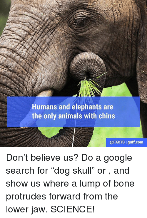 "Animals, Facts, and Google: Humans and elephants are  the only animals with chins  @FACTS guff.com Don't believe us? Do a google search for ""dog skull"" or <insert other favorite pet skull>, and show us where a lump of bone protrudes forward from the lower jaw. SCIENCE!"