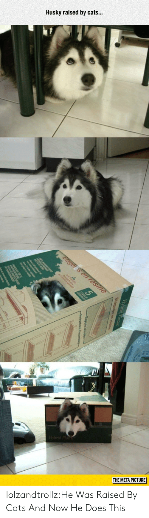 Cats, Tumblr, and Blog: Husky raised by cats...  THE META PICTURE lolzandtrollz:He Was Raised By Cats And Now He Does This