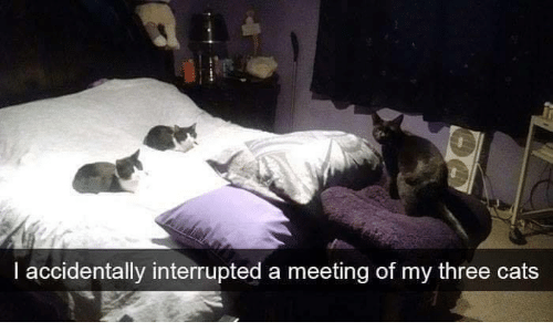 I Accidentally Interrupted A Meeting Of My Three Cats Cats Meme On
