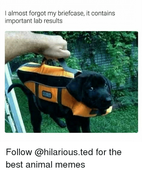 Memes, Ted, and Animal: I almost forgot my briefcase, it contains  important lab results Follow @hilarious.ted for the best animal memes