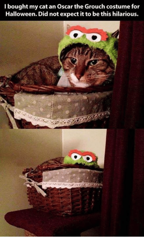 Halloween, Memes, and Hilarious: I bought my cat an Oscar the Grouch costume for  Halloween. Did not expect it to be this hilarious.