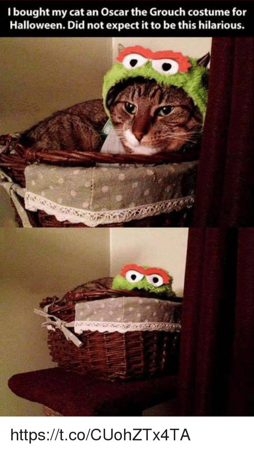 Halloween, Memes, and Hilarious: I bought my cat an Oscar the Grouch costume for  Halloween. Did not expect it to be this hilarious. https://t.co/CUohZTx4TA