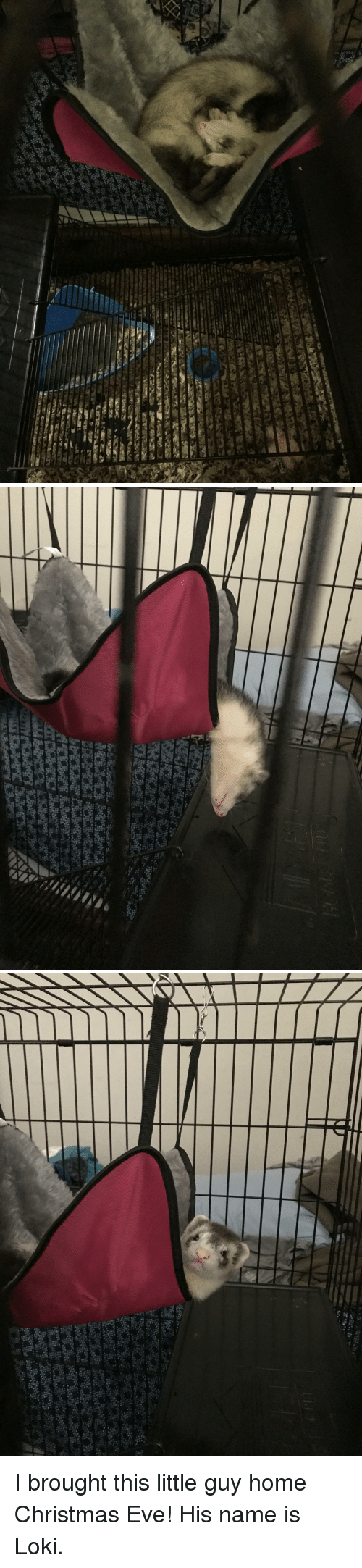 Christmas, Ferret, and Hammock: I brought this little guy home Christmas Eve! His name is Loki.