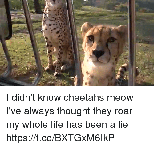 Life, Memes, and Thought: I didn't know cheetahs meow I've always thought they roar my whole life has been a lie  https://t.co/BXTGxM6IkP