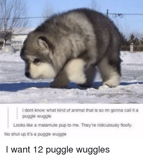 Shut Up, Animal, and Pup: i dont know what kind of animal that is so im gonna call it a  puggle wuggle  Looks like a malamute pup to me. They're ridiculously floofy.  No shut up it's a puggle wuggle I want 12 puggle wuggles