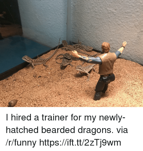 Funny, Dragons, and Via: I hired a trainer for my newly-hatched bearded dragons. via /r/funny https://ift.tt/2zTj9wm