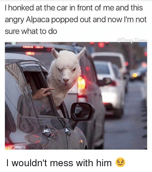 Memes, Alpaca, and 🤖: I honked at the car in front of me and this  angry Alpaca popped out and now I'm not  sure what to do I wouldn't mess with him 😖