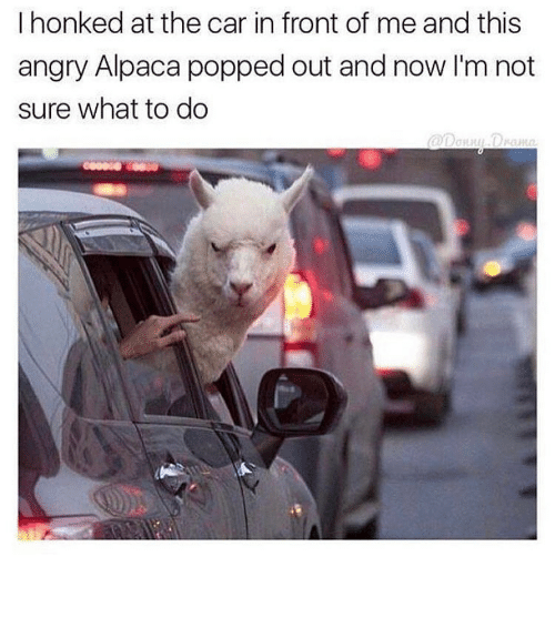 Funny, Memes, and Angry: I honked at the car in front of me and this  angry Alpaca popped out and now I'm not  sure what to do ⠀