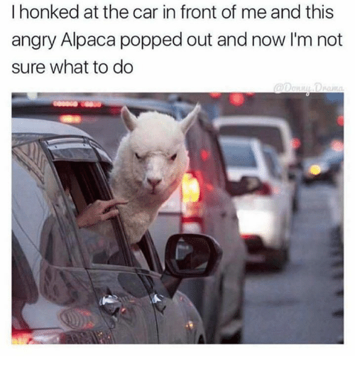Dank, Angry, and Alpaca: I honked at the car in front of me and this  angry Alpaca popped out and now I'm not  sure what to do