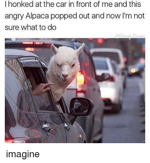 Girl Memes, Angry, and Alpaca: I honked at the car in front of me and this  angry Alpaca popped out and now I'm not  sure what to do imagine