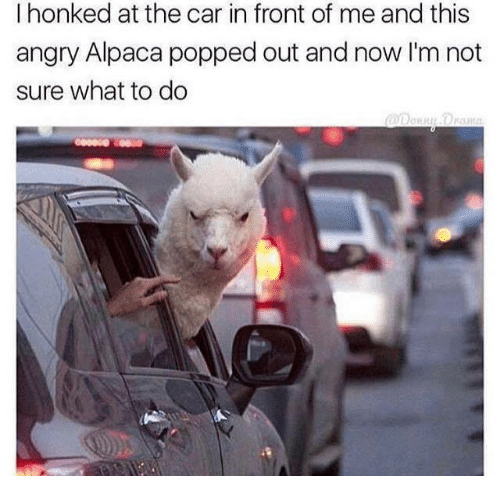 Memes, Pop, and Angry: I honked at the car in front of me and this  angry Alpaca popped out and now I'm not  sure what to do