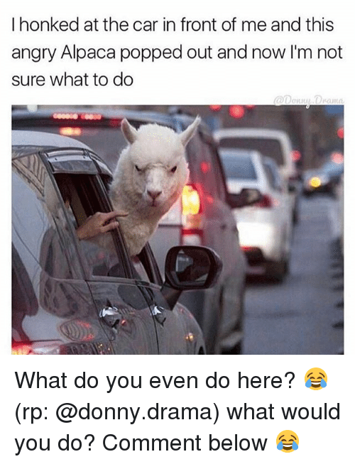 Funny, Angry, and Alpaca: I honked at the car in front of me and this  angry Alpaca popped out and now I'm not  sure what to do What do you even do here? 😂 (rp: @donny.drama) what would you do? Comment below 😂