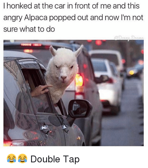 Memes, Angry, and Alpaca: I honked at the car in front of me and this  angry Alpaca popped out and now I'm not  sure what to do 😂😂 Double Tap