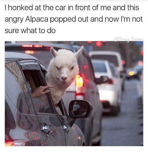 Angry, Humans of Tumblr, and Alpaca: I honked at the car in front of me and this  angry Alpaca popped out and now I'm not  sure what to do  angry Alpaca popped out and nowIm not