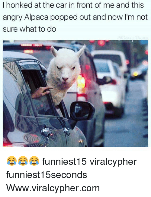 Funny, Angry, and Alpaca: I honked at the car in front of me and this  angry Alpaca popped out and now I'm not  sure what to do 😂😂😂 funniest15 viralcypher funniest15seconds Www.viralcypher.com