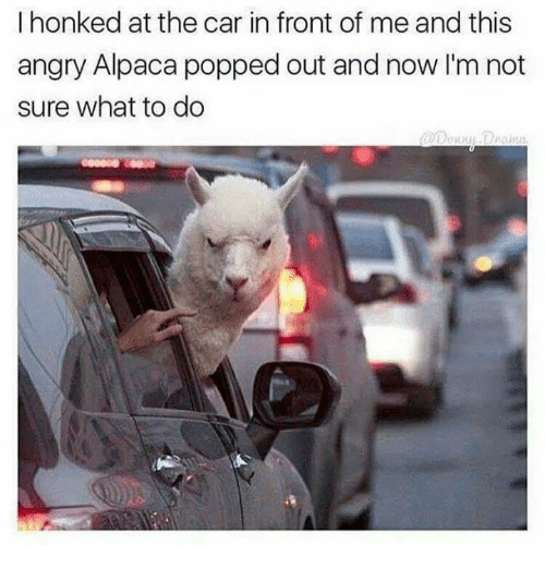 Funny, Angry, and Alpaca: I honked at the car in front of me and this  angry Alpaca popped out and now I'm not  sure what to do