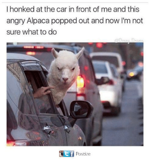 Funny, Tumblr, and Angry: I honked at the car in front of me and this  angry Alpaca popped out and now I'm not  sure what to do  Postize