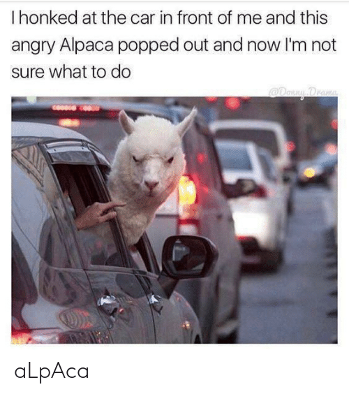 Angry, Alpaca, and Car: I honked at the car in front of me and this  angry Alpaca popped out and now I'm not  sure what to do aLpAca