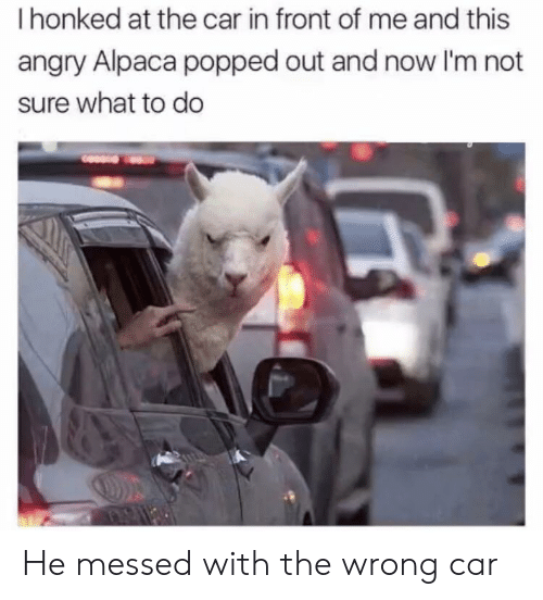 Angry, Alpaca, and Car: I honked at the car in front of me and this  angry Alpaca popped out and now I'm not  sure what to do He messed with the wrong car