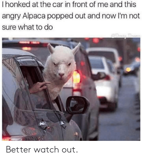 Watch Out, Watch, and Angry: I honked at the car in front of me and this  angry Alpaca popped out and now I'm not  sure what to do Better watch out.