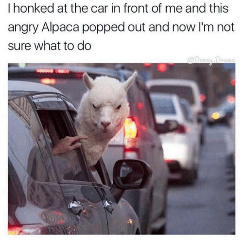 Angry, Alpaca, and Car: I honked at the car in front of me and this  angry Alpaca popped out and now I'm not  sure what to do