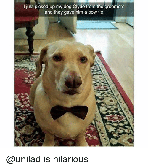 i just picked up my dog clyde from the groomers 28750873 25 best bow tie memes mine new memes, be mine memes, bonding memes