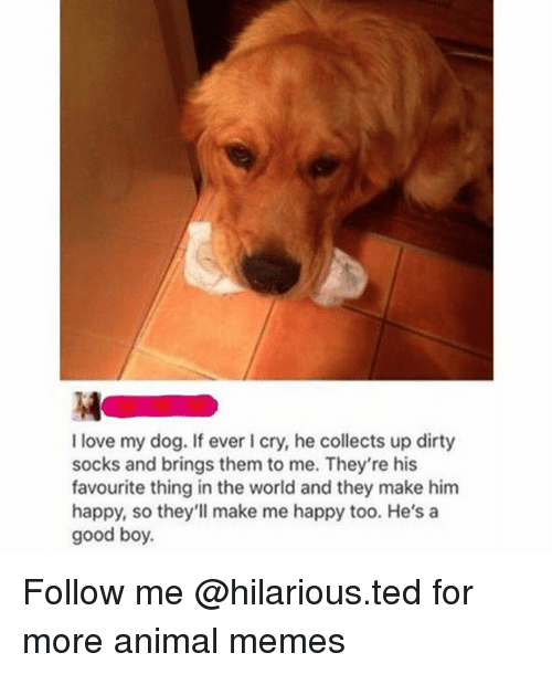 Funny, Love, and Memes: I love my dog. If ever I cry, he collects up dirty  socks and brings them to me. They're his  favourite thing in the world and they make him  happy, so they'll make me happy too. He's a  good boy. Follow me @hilarious.ted for more animal memes
