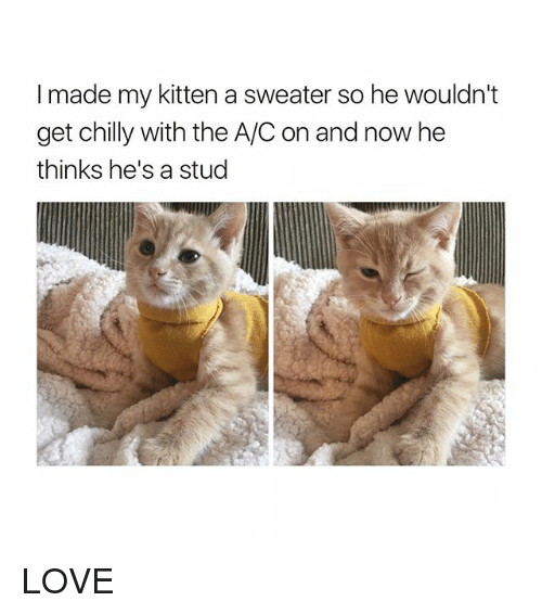 Love, Girl Memes, and Kitten: I made my kitten a sweater so he wouldn't  get chilly with the A/C on and now he  thinks he's a stud LOVE