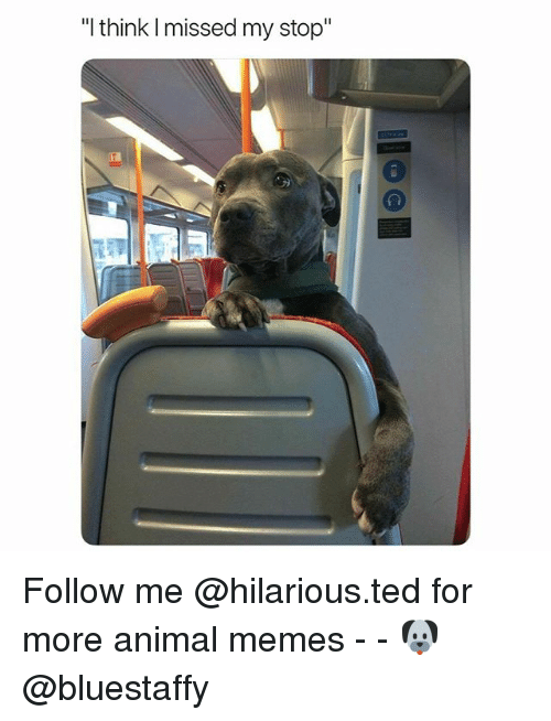 "Funny, Memes, and Ted: ""I think I missed my stop"" Follow me @hilarious.ted for more animal memes - - 🐶 @bluestaffy"